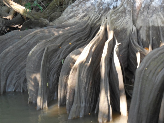 Blood fig roots