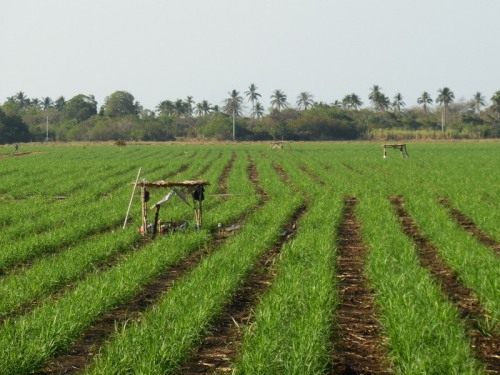 Cane fields 3