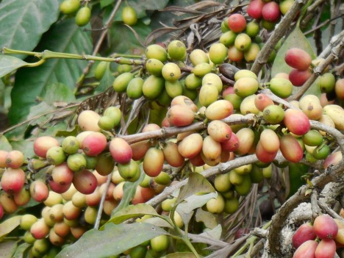 Coffee cherries 2