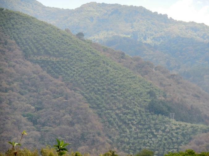 Coffee on side of volcano