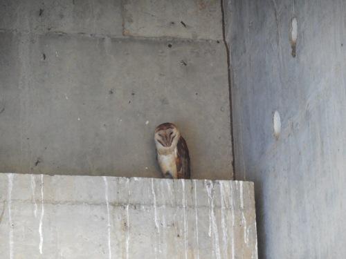 Common owl