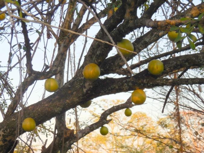 Crescentia or Morro tree