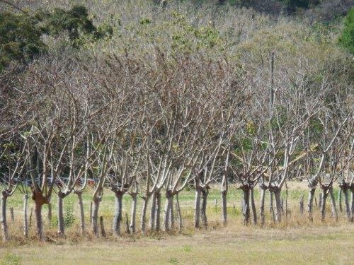Fencepost trees 4