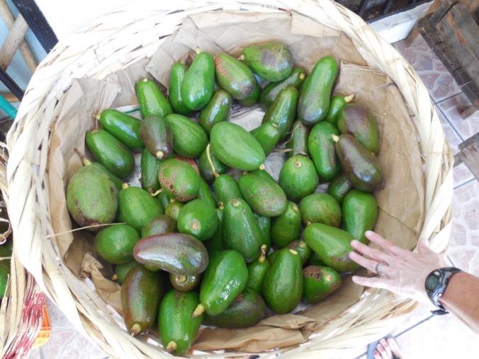 Giant avocados