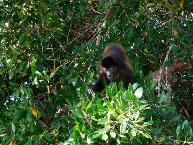 Howler monkey 2