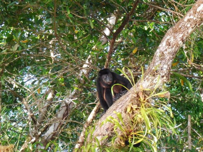 Howler monkey 3