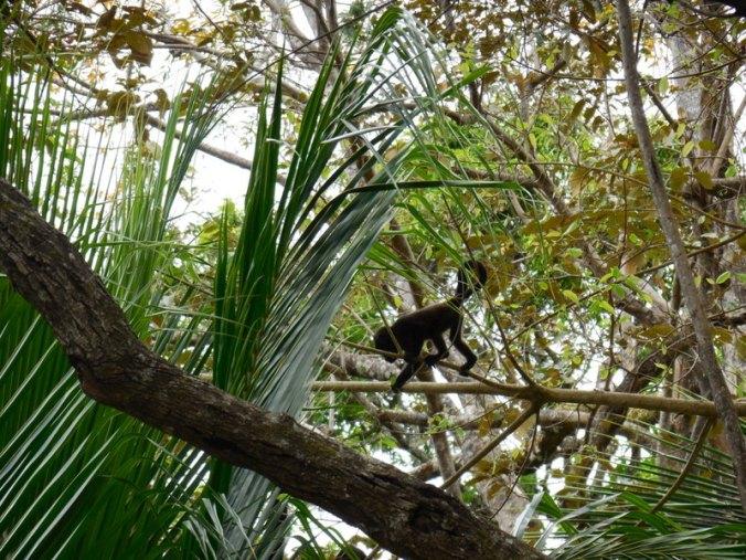 Howler monkey 4