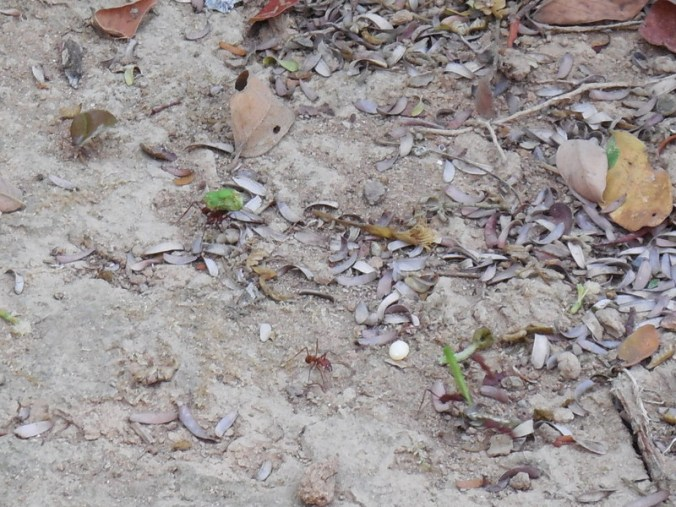 Leaf cutter ants on the move
