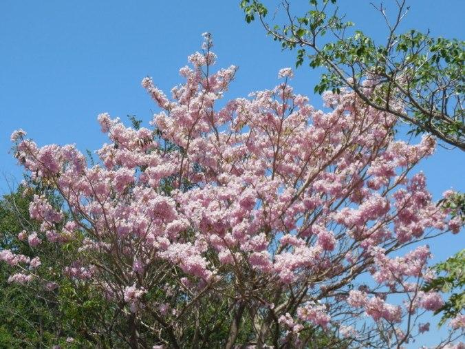 Maquilishuat - national tree of El Salvador