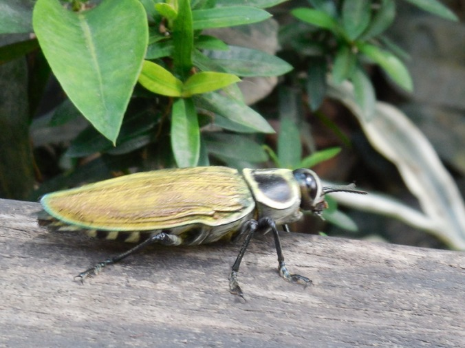 Massive beetle 1
