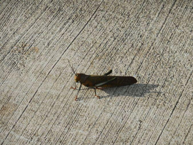 Massive grasshopper (2)