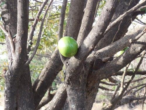 Morro tree 1