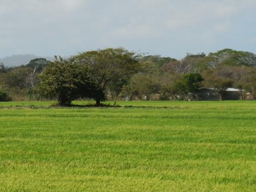 Nicaragua rice 3