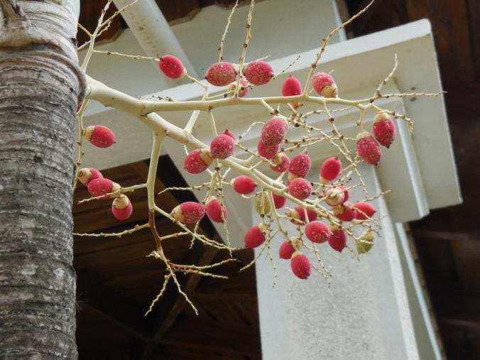 Nuts on palm tree