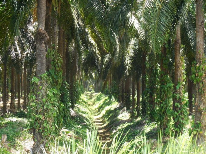 Palm oil trees 2