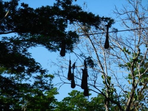 Scenic Panama - bird nests-001