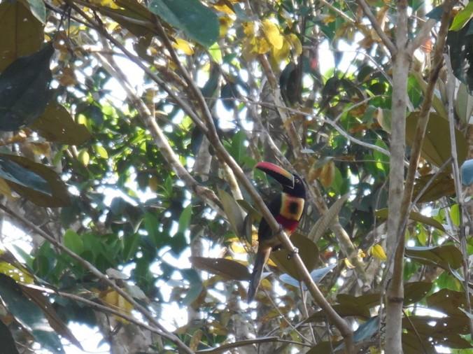Small toucan 2