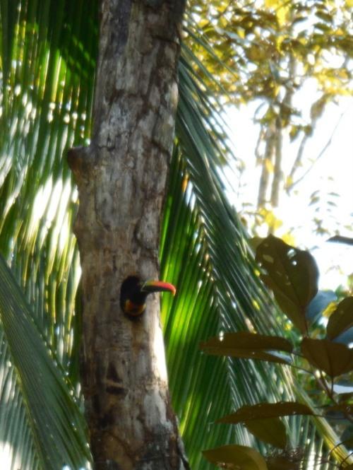 Small toucan 3