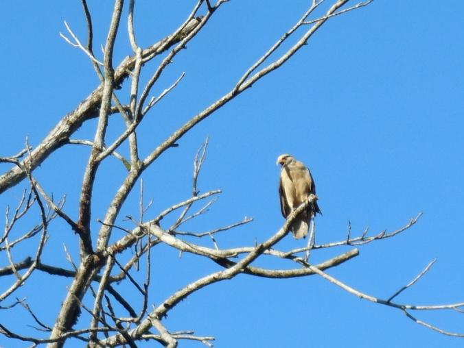 Some kind of bird of prey