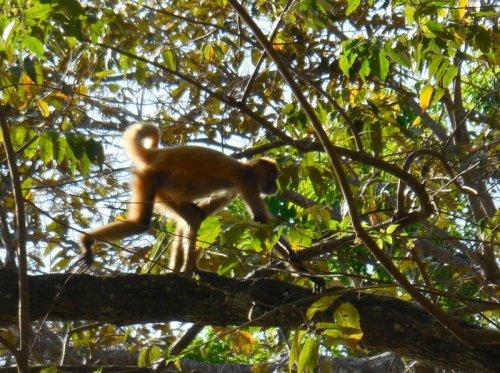 Spider monkey 10