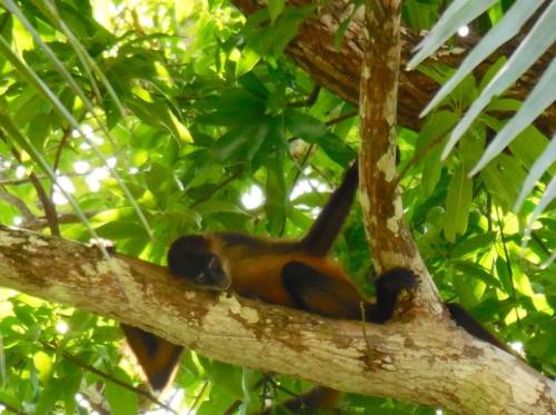 Spider monkey 9