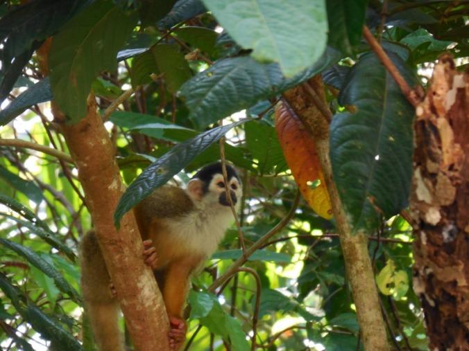 Squirl monkey 2