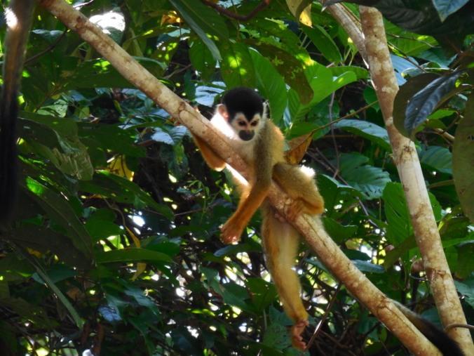 Squirl monkey 3