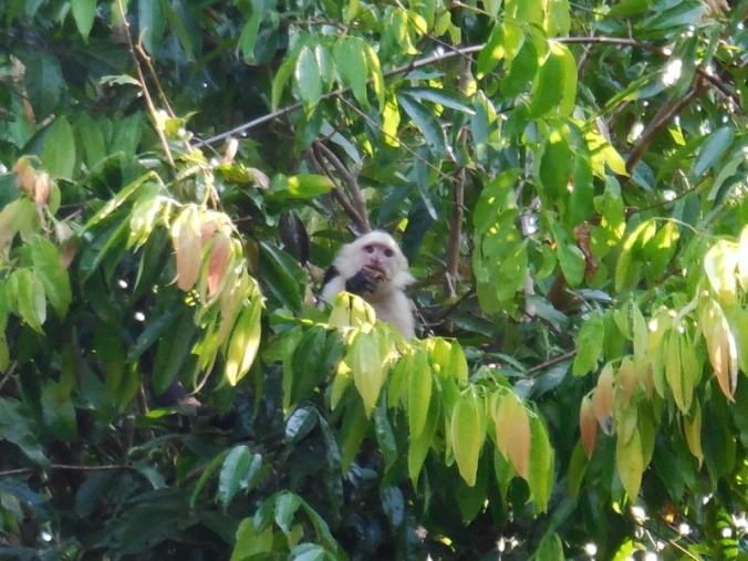 Whiteface monkey 4