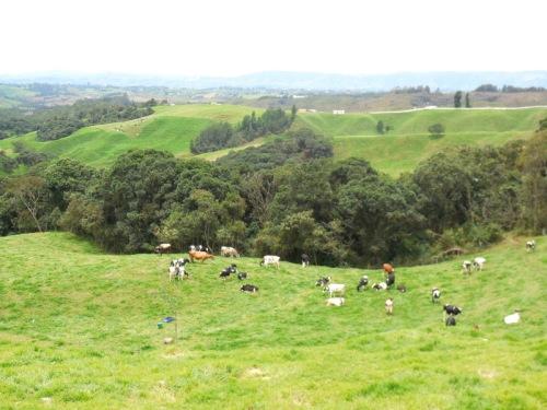 Andes cows