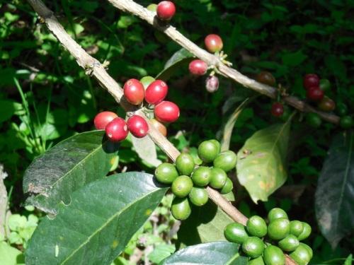 Coffee cherries 1