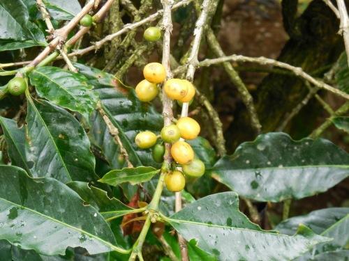 Coffee cherries 3