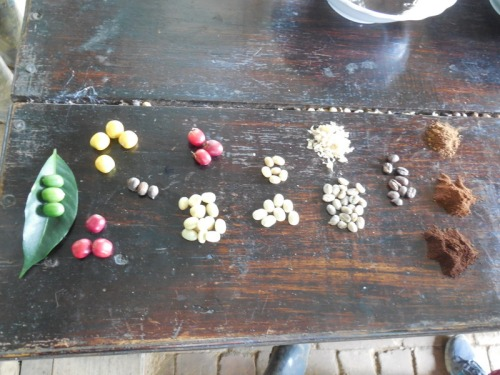 Coffee stages 3