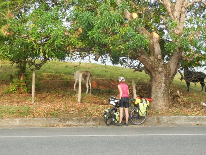 Cow getting help from Nancy with mangos