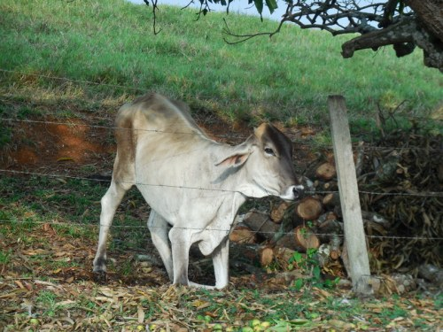 Cow trying to get mangos