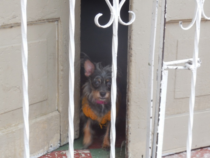 Oldtown dog