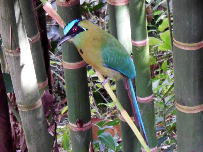Blue-Crowned Motmot