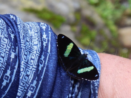 Cocora Valley butterfly