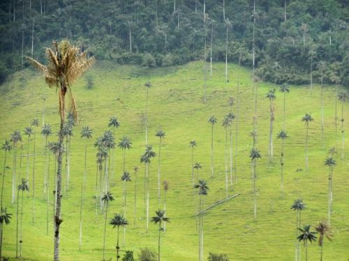 Cocora wax palms 12