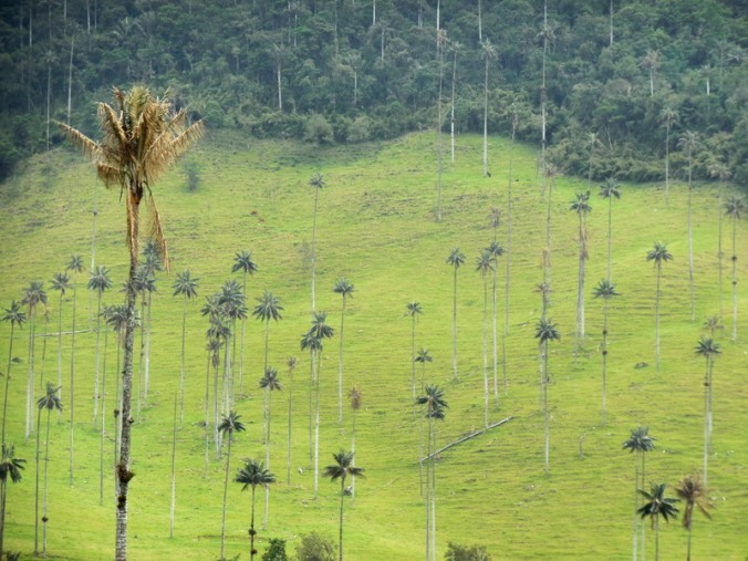Cocora wax palms 12