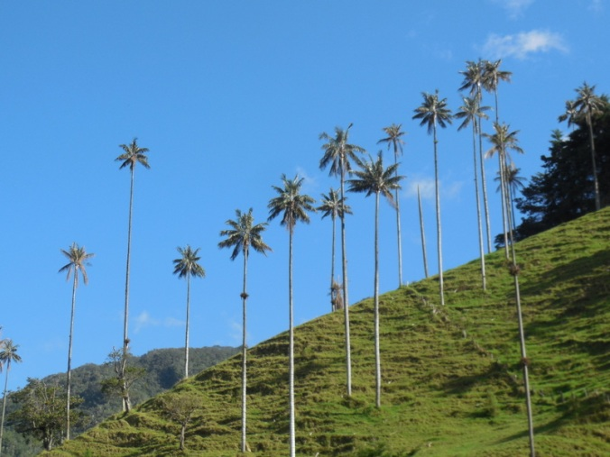 Cocora wax palms 3