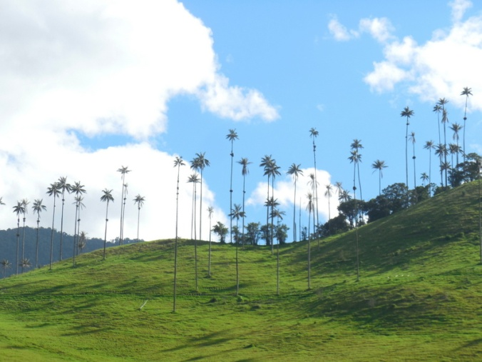 Cocora wax palms 4