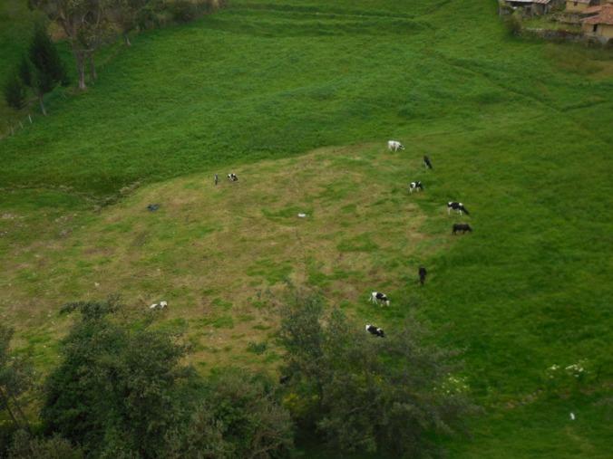 Cows eating crop circle