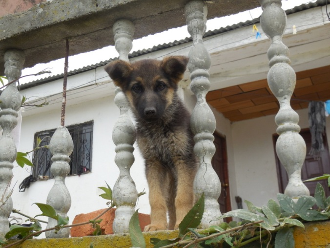 Inca puppy 1