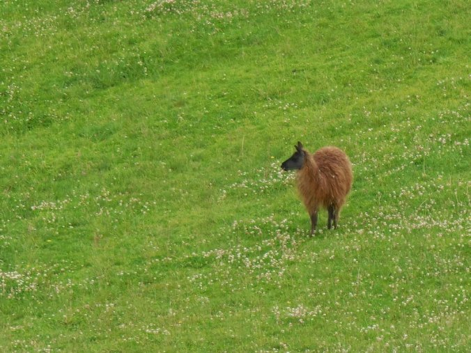 Ingapirca - llama 1