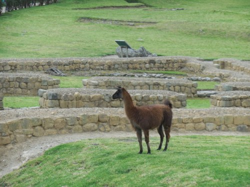 Ingapirca - llama 5