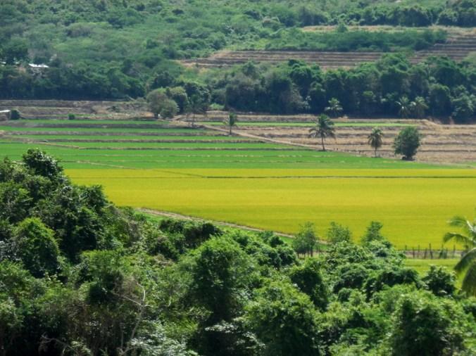 Rice fields 3
