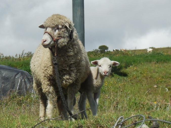 Sheep and baby