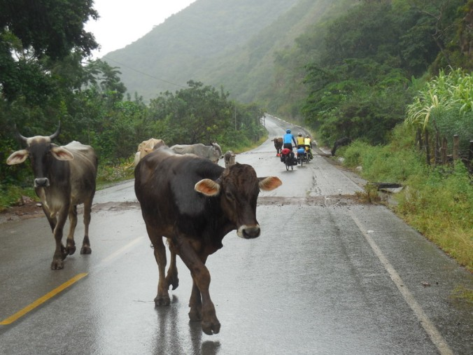 The bunch with cows