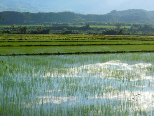 Utcubamba River rice fields 1
