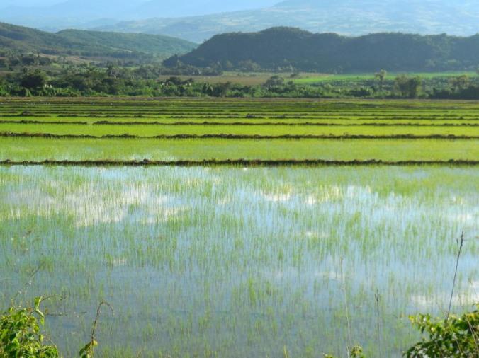 Utcubamba River rice fields 3